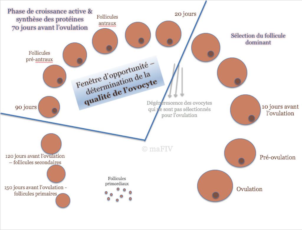Schéma de la formation de la qualité de l'ovocyte