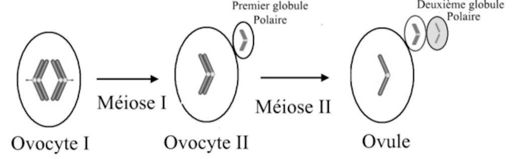 Schéma de la méiose de l'ovocyte